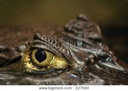 Spectacled Caiman's Eye