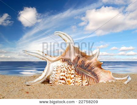 Conch shell on beach