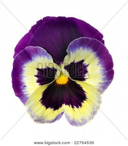 Isolated pansy over white background