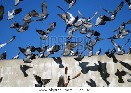 Pigeons In Chaos