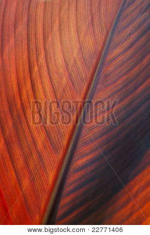 Red Tropical Leaf In Backlight