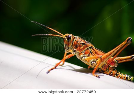 Toxic Orange Eastern Lubber Grasshopper