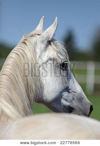 Portrait of a white horse head
