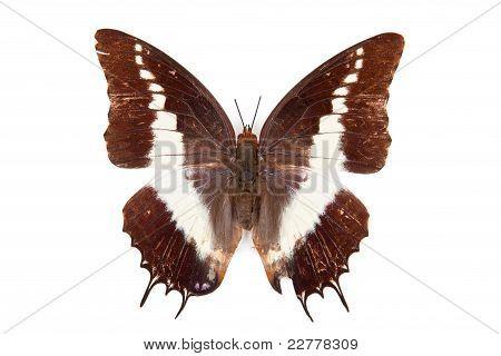 Preto, uma borboleta branca Brutus de Charaxes isolado no fundo branco