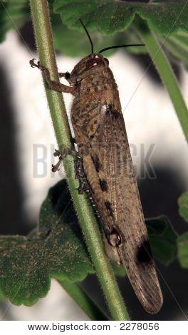 Migratory Locust (L. Migratoria)