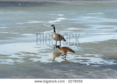 Two Geese On A Pond