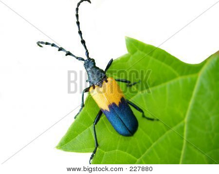 Cut Out Beetle