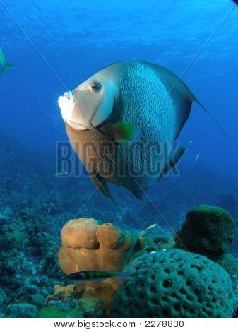 An Angel Fish