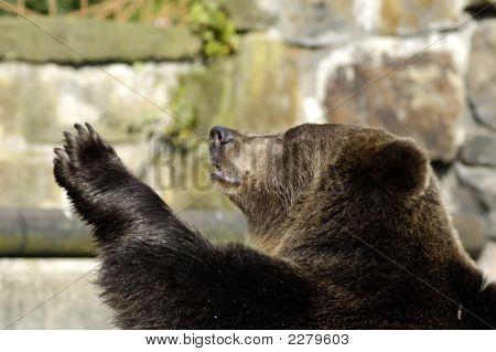 Brown Bear In Zoo Speaks Good-Bye.