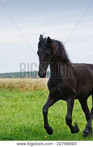 Friesische Pferd