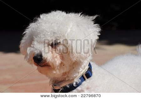 Bichon Frise dog staying on alert
