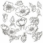 Wild Dog Rose Flowers, Contour Ink Adult Coloring Page With Butterfly Drawing Vector Clipart On Whit poster