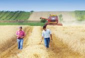 Two Farmers Walking On Golden Wheat Field During Harvest In Summer. Seasonal Agricultural Works poster