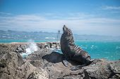 sea lion mammal in the wild, natural background, new zealand nature poster