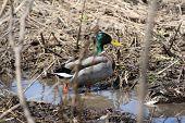 Mallard Duck (drake) Beside A Ditch Full Of Water poster