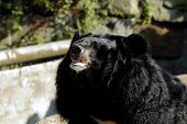 Asiatic (Ursus Thibetanus) Black Bear In Zoo