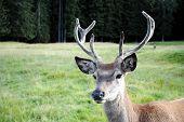 foto of musky  - young male deer face in mountain landscape - JPG