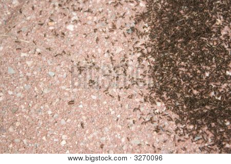 Colony Of Ants