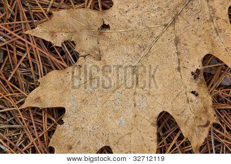 Brown Leaf on Pine Needles