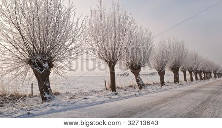 Frosted Pollard Willows In A Rural Dutch Street