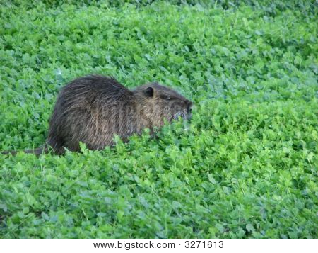 Nutria Eats Grass