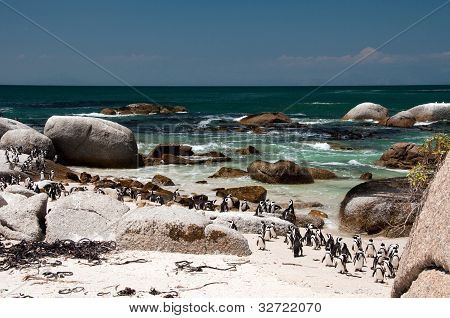 African penguin at Boulders Beach