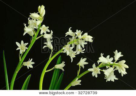 whitebells
