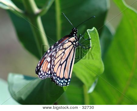 Butterfly Two