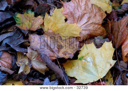 Fallen Leaves Three