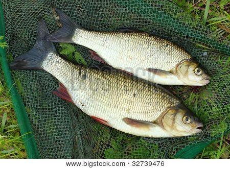The fish on a landing net. ( Ide - Leuciscus idus)