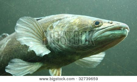 Underwater photo big Zander or Pike-perch (Sander lucioperca). Trophy fish in Hracholusky Lake - Czech Republic, Europe.