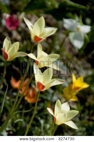 Pale Yellow Dwarf Tulips