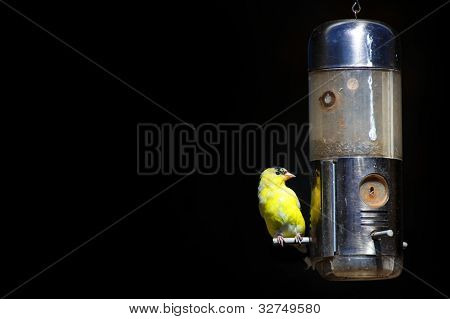 Tiny American Gold flinch bird on feeder