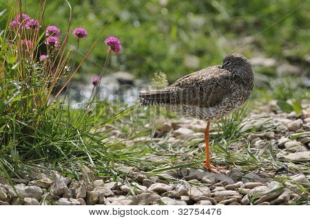 Redshank wader bird