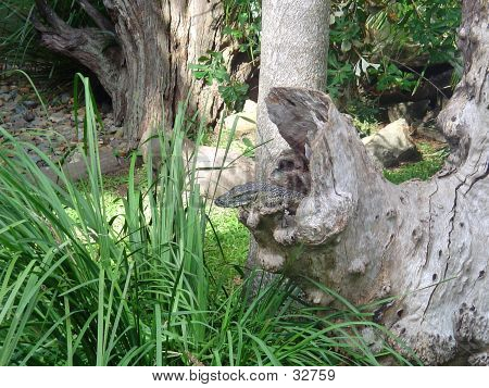 Goanna In Hollow Log