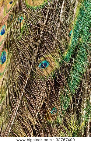 Feathers Of A Male Peacock
