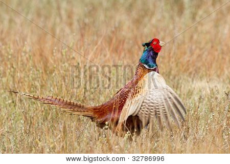 A Common Pheasant