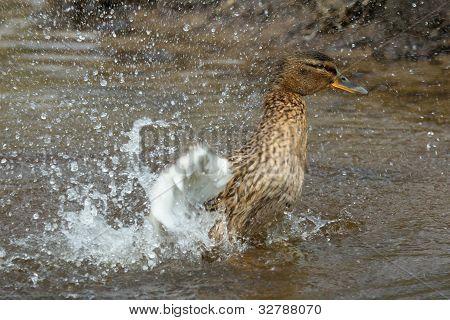Washing Mallard