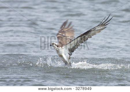 Osprey (Pandion Haliaetus) Fishing