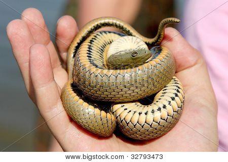 Een Close Up van een slang gekruld in een bal In zijn Hand