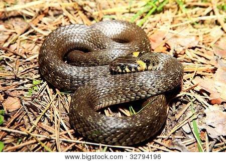 Grass Snake (natrix), Is A European Non-venomous Snake
