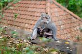 Mother Monkey Feeds Her Cub. Monkey Forest In Bali. Monkey With A Cub. poster