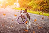 Amstaff Dog On A Walk In The Park. Big Dog. Bright Dog. Light Color. Home Pet. Black And White Dog poster