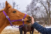 Person Touching Equine Muzzle Against Winter Rural Landscape. Mans Hand And Horse Head Close Up. Hu poster