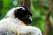Closeup Of The Face Of A Black Crowned Sifaka Monkey, Endangered Lemur Specie From Madagascar poster
