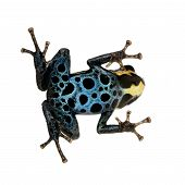 Poison Dart Frog - Ranitomeya Amazonica Or Dendrobates Amazonicus poster