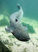 image of musky  - Underwater photo big Catfish  - JPG