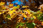 Bright Yellow-red Oak Leaves Against Blue Sky. Autumn Background Bright Yellow Leaves Close-up. Brig poster