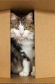Closeup Of A Tabby Cat Hiding In Cardboard Box poster