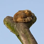 foto of coatimundi  - A coatimundi is sleeping in a tree - JPG